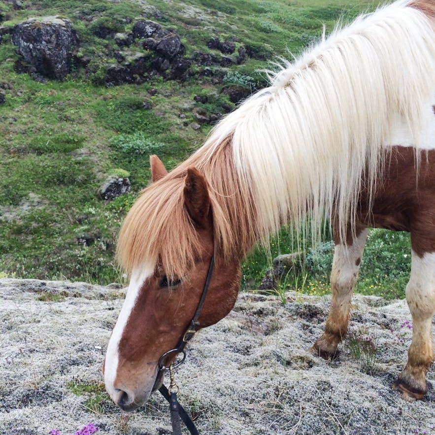 冰島馬吃草