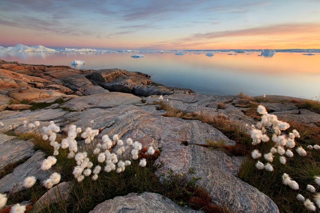 일루리사트의 작은 야생화가 거대한 빙산과 대조를 이룹니다.