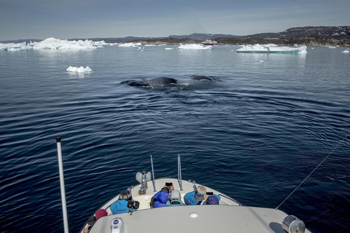 혹등고래와 지느러미 고래가 비옥한 그린란드 동부 바다에서 배를 채웁니다!