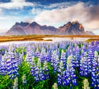 Fields of lupine against a majestic mountain backdrop, at the beautiful Snæfellsnes Peninsula in West Iceland.