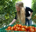 Fresh tomatoes are grown in the greenhouses of Friðheimar Tomato Farm.