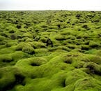 In summer, the moss that coats Iceland's lava landscapes becomes a vivid green.