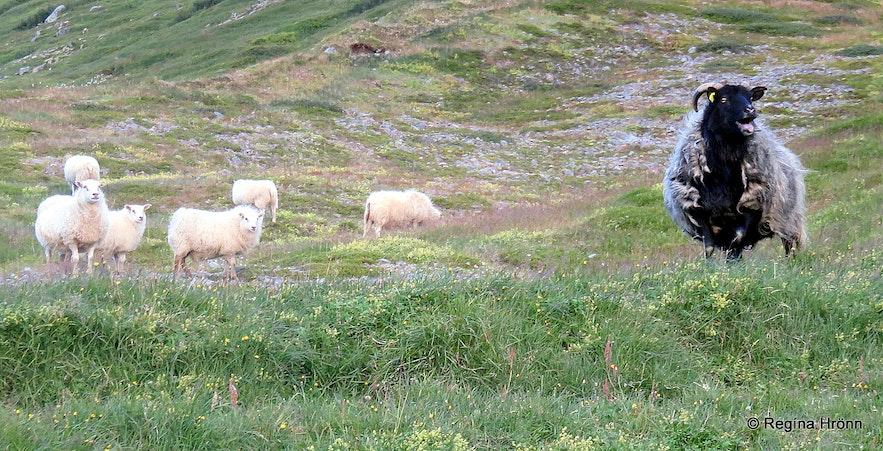 A leader-ewe by Drangajökull