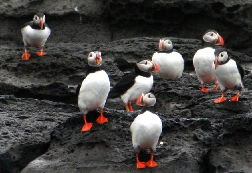 一群冰島Puffin