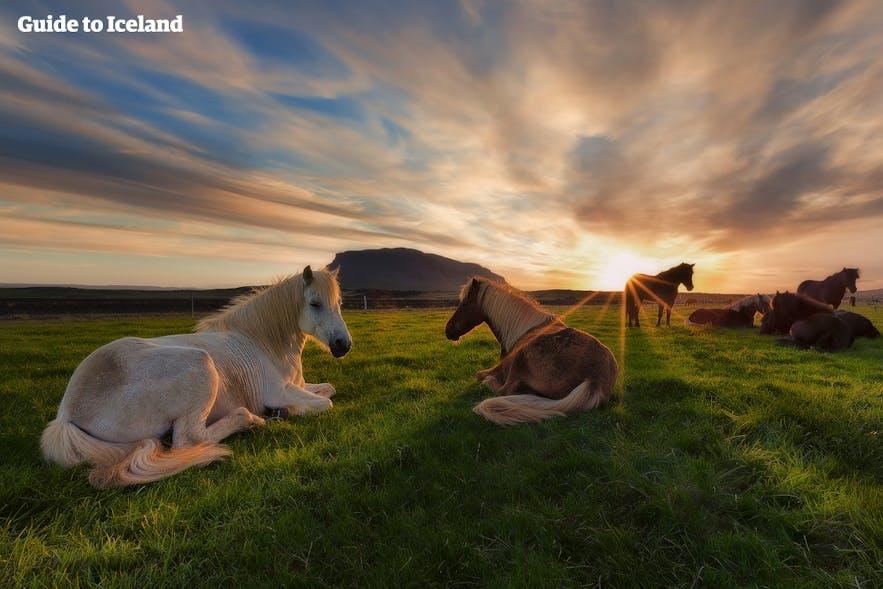 cheval islandais sous le soleil de minuit
