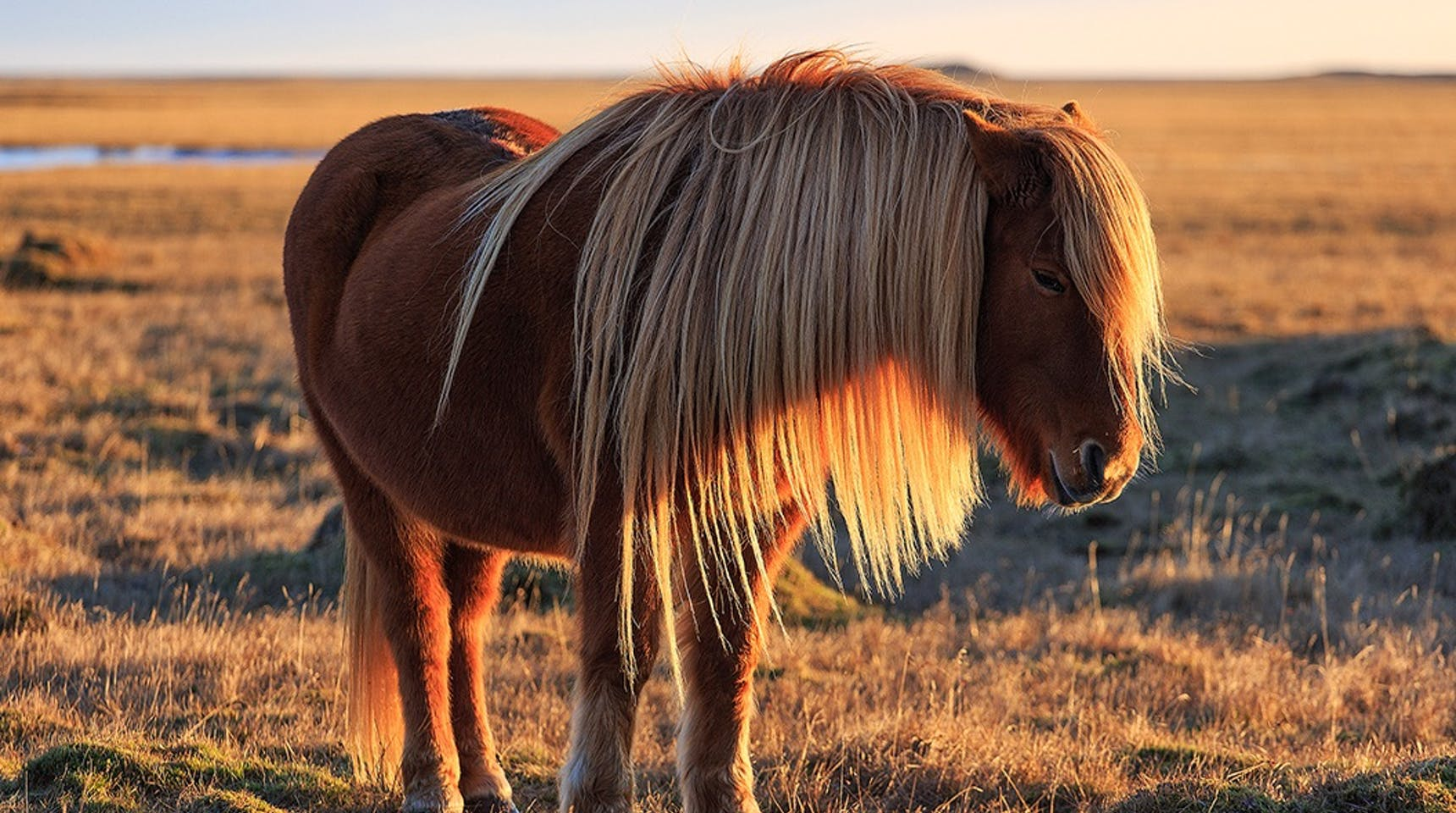 A Complete Guide To The Icelandic Horse Guide To Iceland