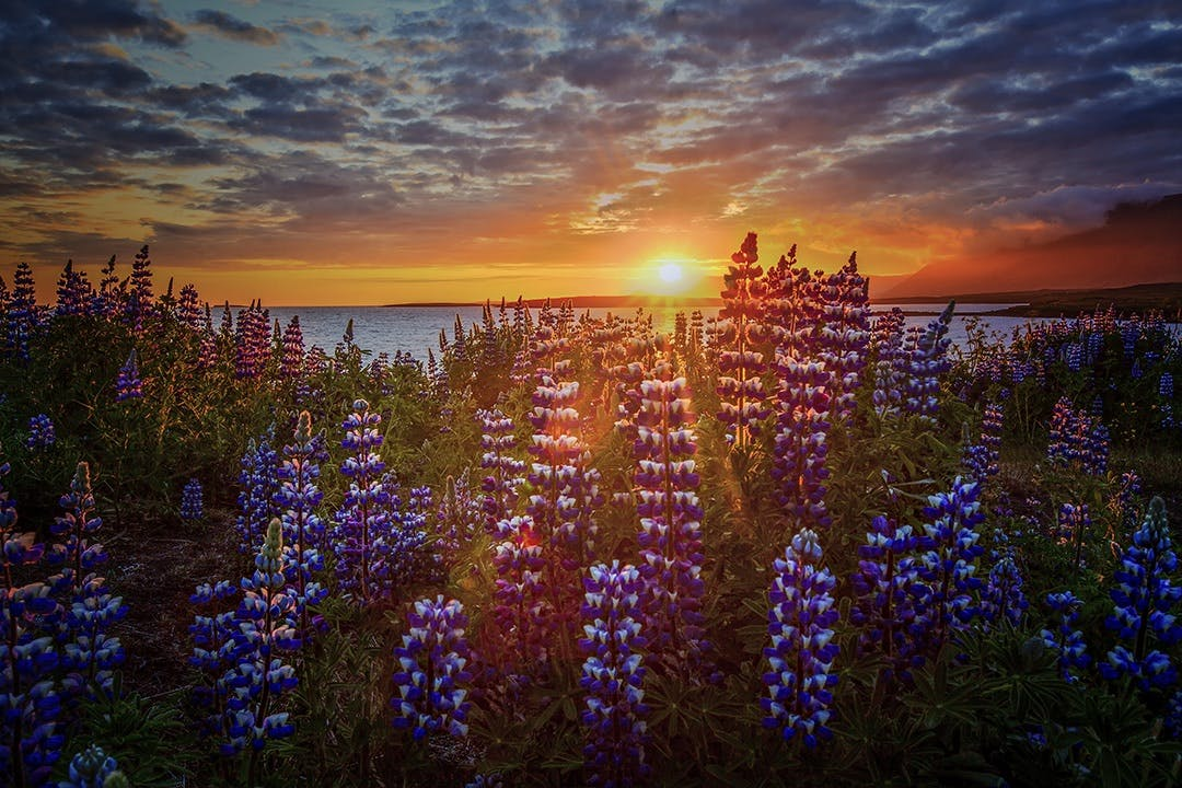 The lupin flower has now spread across many parts of Iceland, proving an ally against soil erosion but an enemy to native species.