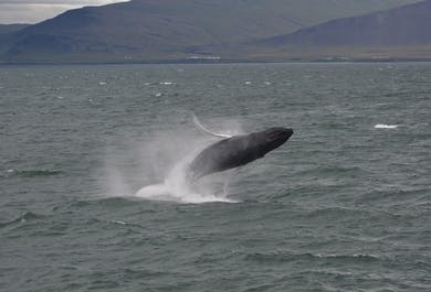Observation de baleines à Akureyri   Bateau rapide