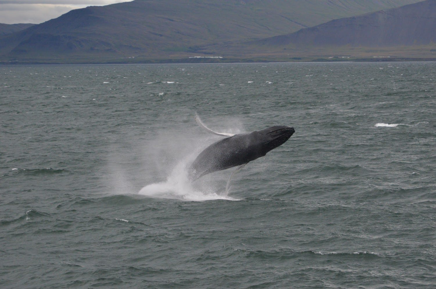 Akureyri whale watching | High speed boat tour