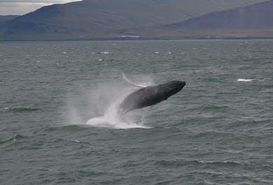 Akureyri whale watching | High speed boat tour