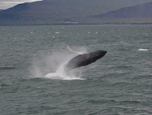 Akureyri whale watching   High speed boat tour