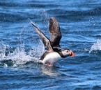On the Husavik whale and puffin safari RIB boat adventure you will most likely spot the puffin, Iceland's beloved bird.
