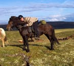 The Icelandic horse is small, but strong and sturdy.