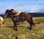 アイスランディックホースは体が小さくカワイイ馬