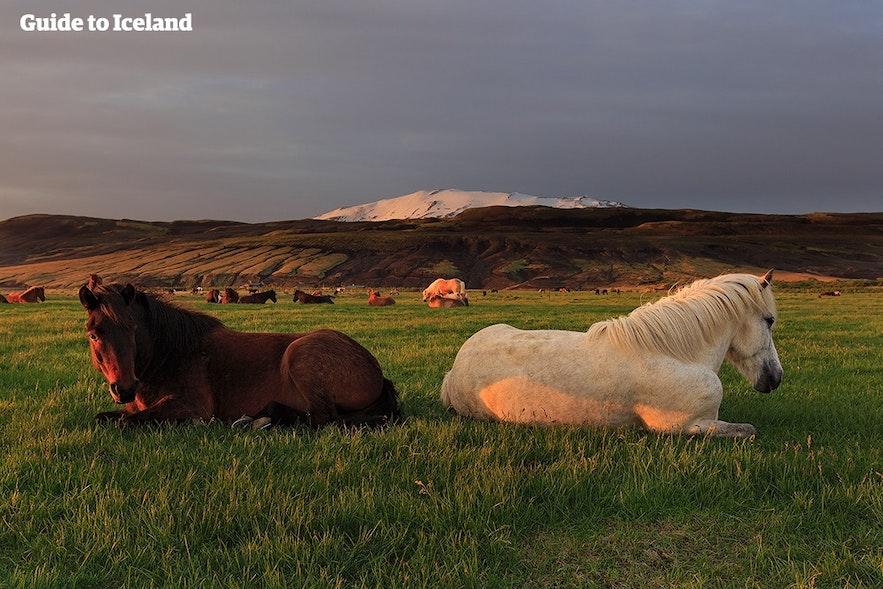 아이슬란드 말에게서 가장 흔한 모색은 붉은색, 갈색, 희색과 분홍색입니다.