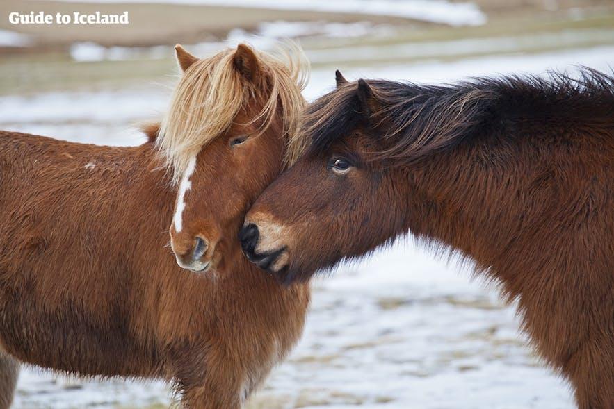 Para islandzkich koni w trakcie zimy