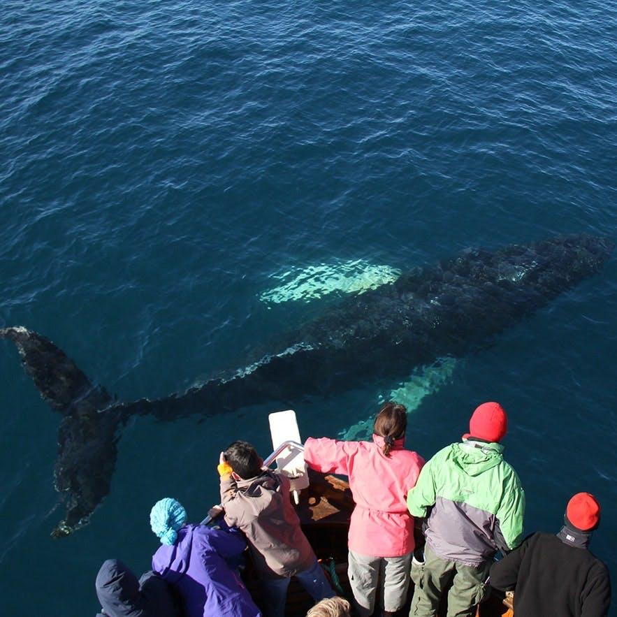 在冰岛观鲸