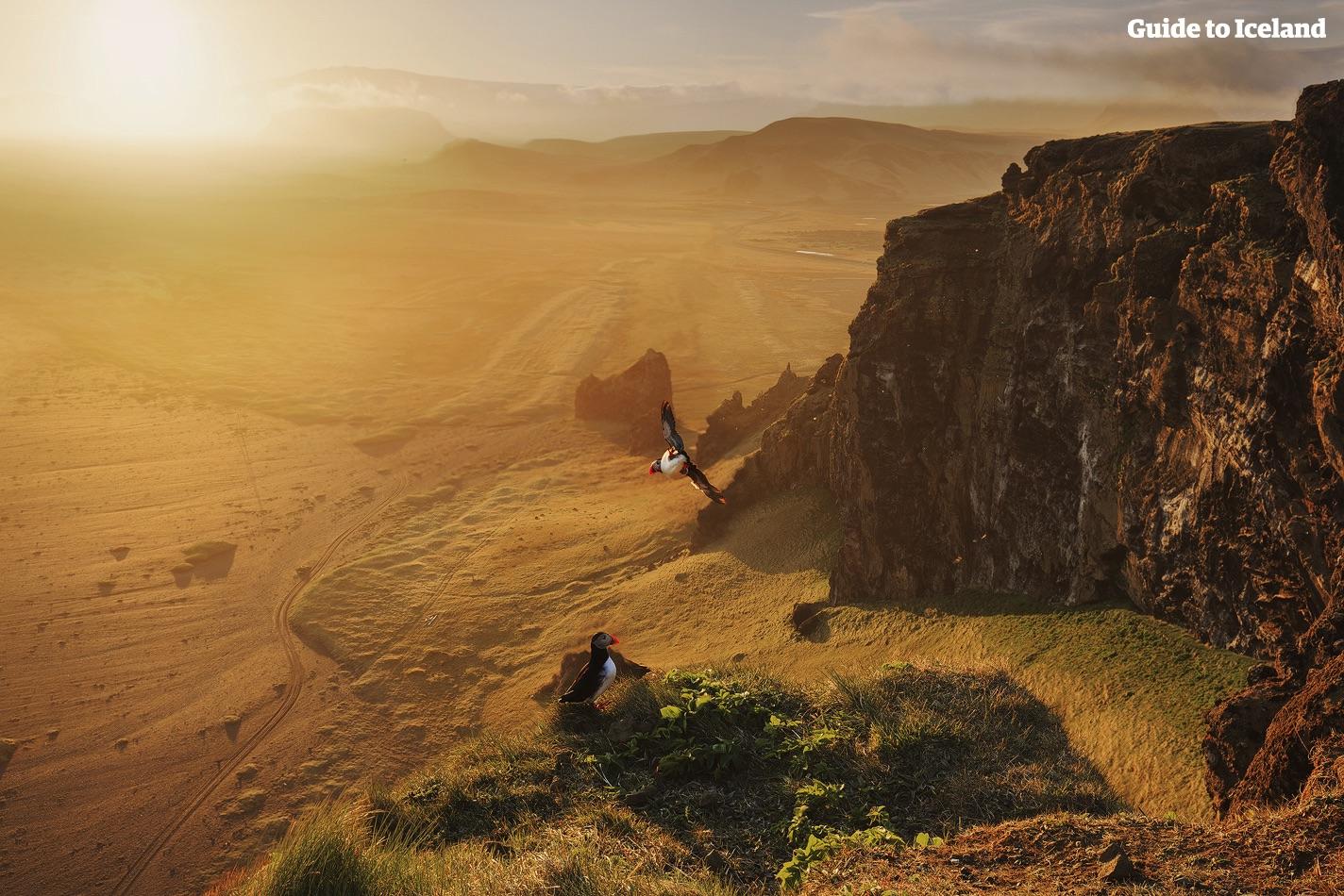 Maskonury gniazdują na wzgórzach Reynisfjall na południowym wybrzeżu Islandii.