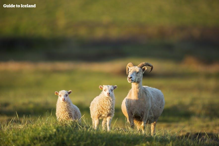 여름철 초원을 거니는 엄마양과 아기 양 두마리 - 아이슬란드