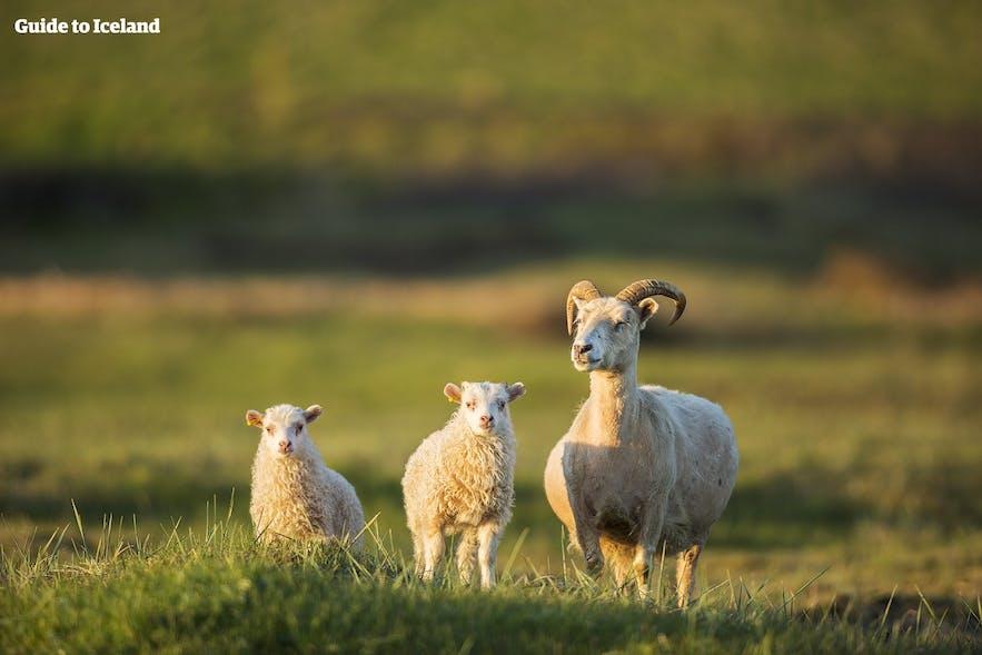 自由に歩き回る羊の親子