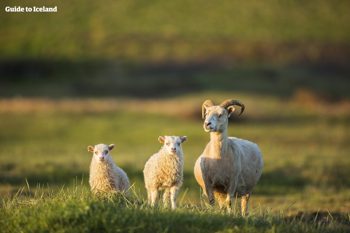 A ewe and her lambs, free-roaming in summer.