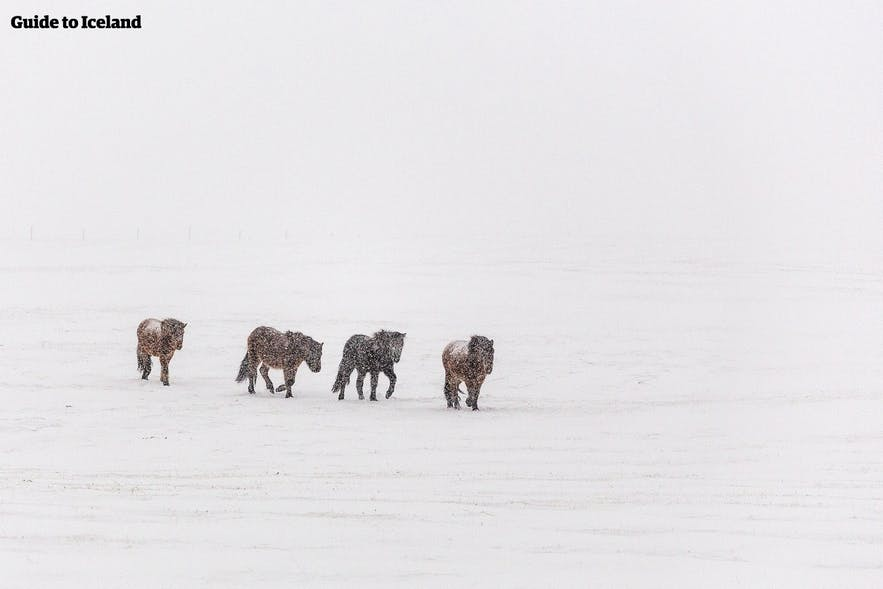 Islandpferde sind nicht besonders besorgt über das isländische Winterwetter.