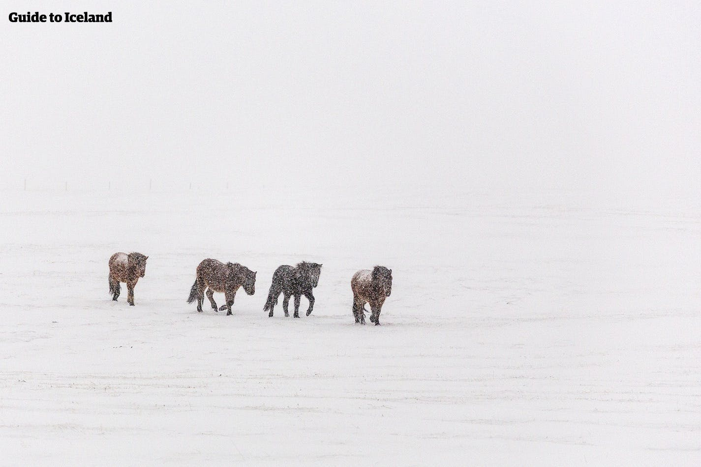 Icelandic horses are not particularly concerned by Iceland's winter weather.