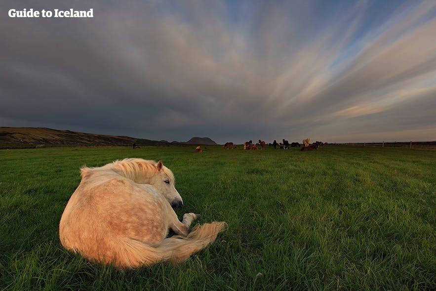 草原でくつろぐアイスランドの馬