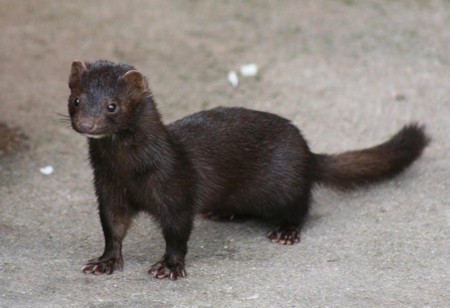 有害な外来種であるミンク Photo Credit: Wikimedia, Creative Commons, 写真 Pdreijnders