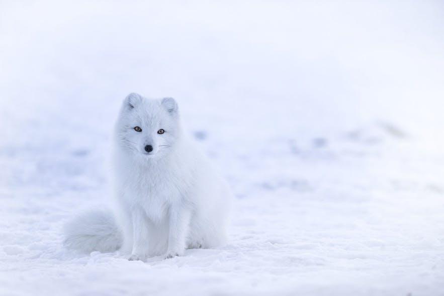 """Ein """"weißer"""" Polarfuchs. Fotoquelle: Wikimedia, Creative Commons, Foto von Jonathen Pie"""