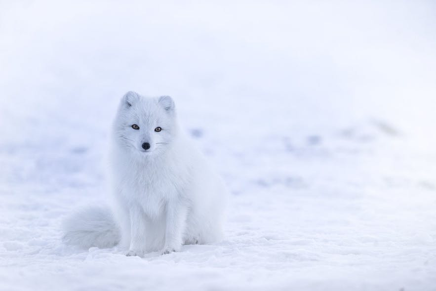 A 'white' Arctic Fox. Photo Credit: Wikimedia, Creative Commons, photo by Jonathen Pie