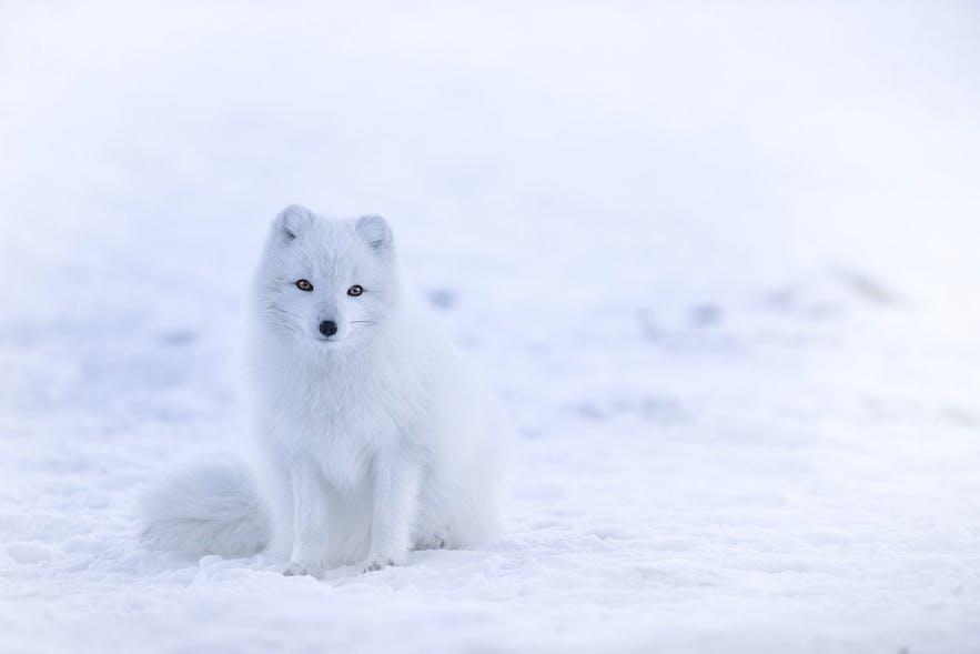 白い毛皮になった北極キツネ。写真: Wikimedia, Creative Commons, photo by Jonathen Pie