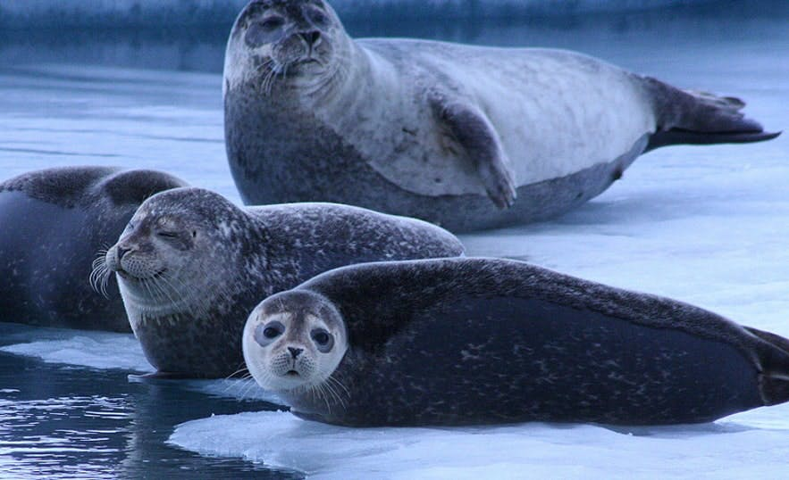 ヨークルスアゥルロゥン氷河湖のアザラシ。写真: Stephen AU