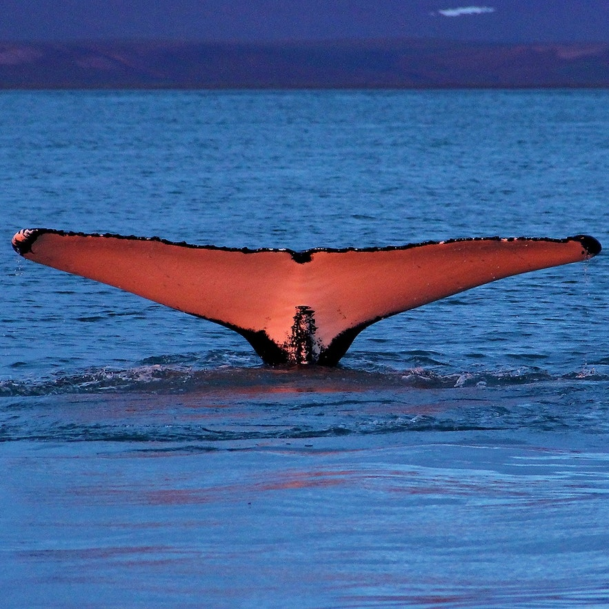 Из-за своего драматического поведения горбатые киты, как правило, наиболее фотогеничны.