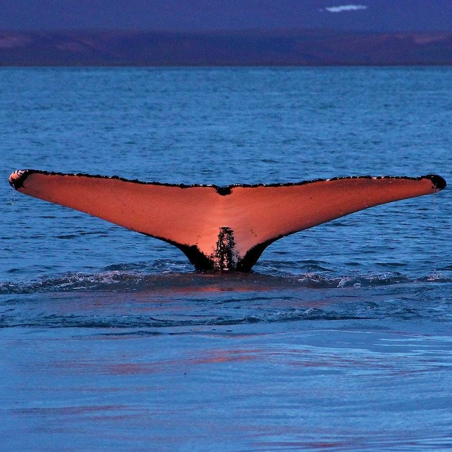 Knölvalar tenderar att göra sig bäst på bild tack vare sitt dramatiska beteende.