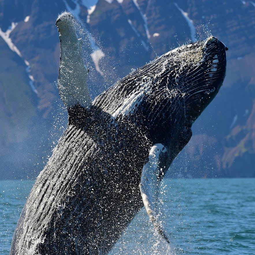 Выпрыгивающий из воды кит-горбач.