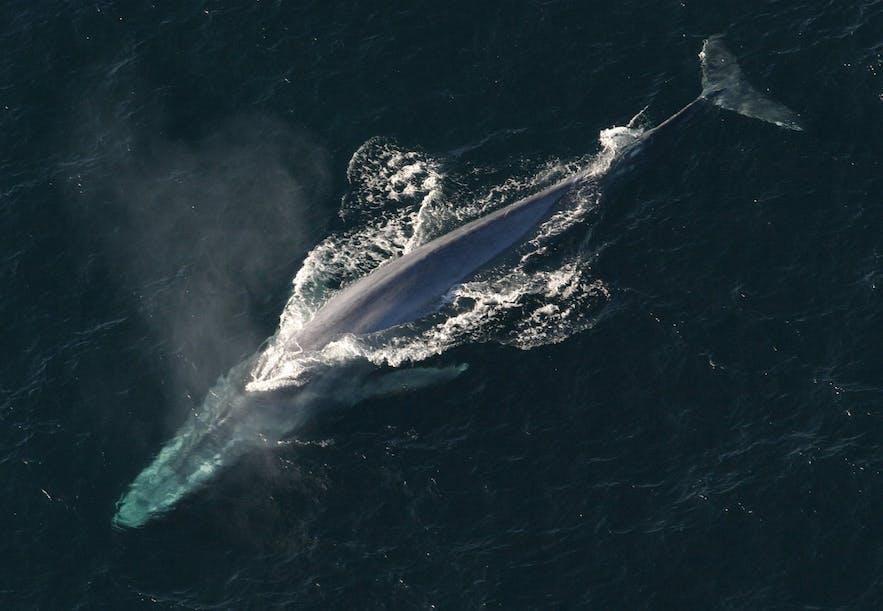 En blåhval fotograferet oppefra.