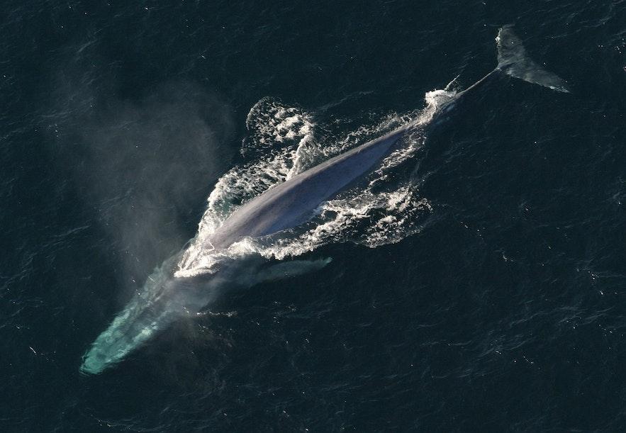 Een blauwe vinvis van bovenaf gefotografeerd.