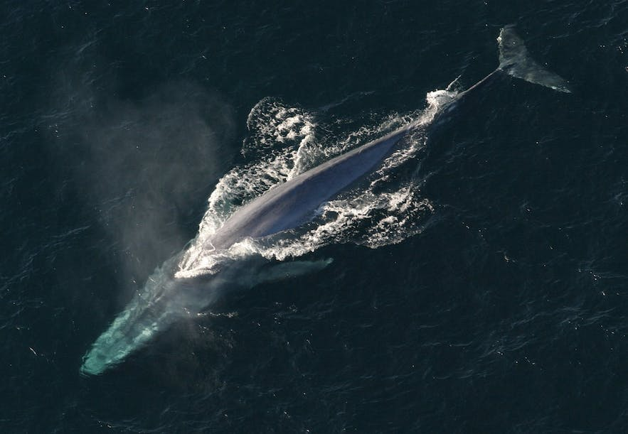 A blue whale shot from above.
