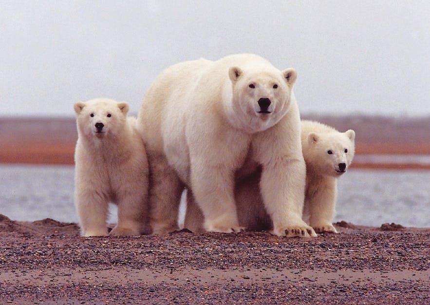ホッキョクグマはグリーンランドから漂流してくることがある
