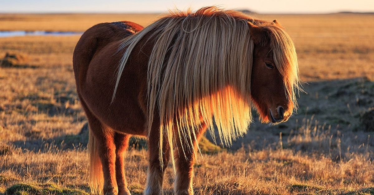 pictures of horses in iceland 7 jpg?ar=1