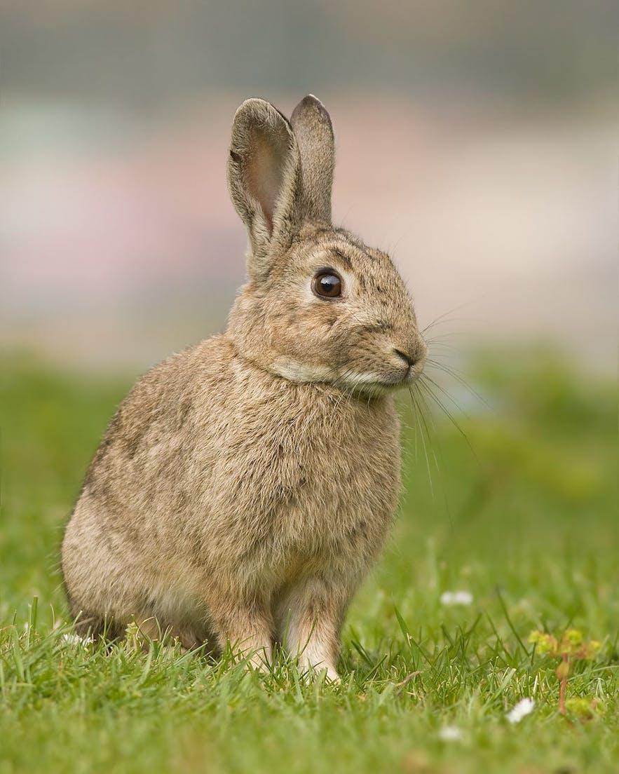 생태계 위해 외래종 중 하나인 토끼