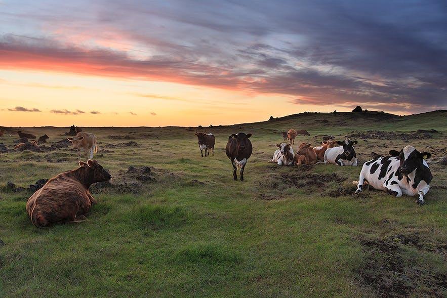 放牧される牛