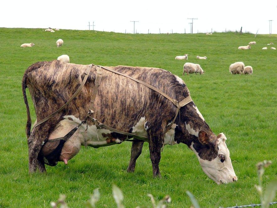 Eine isländische Kuh. Wikimedia, Creative Commons, Foto von Christian Bickel