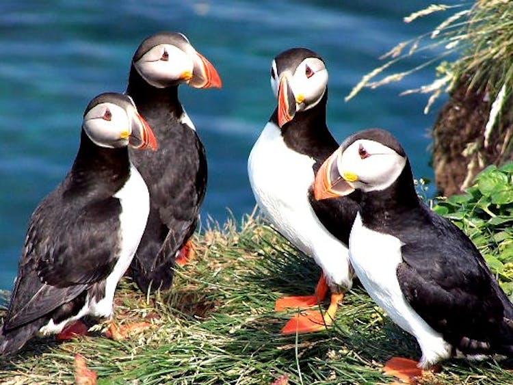 นกพัฟฟินคู่รักสองคู่บนผาดูนกลาทราบียอร์กกำลังมองนักท่องเที่ยวที่มองพวกมัน