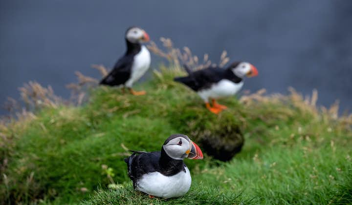 A group of Puffins resting on a cliff.