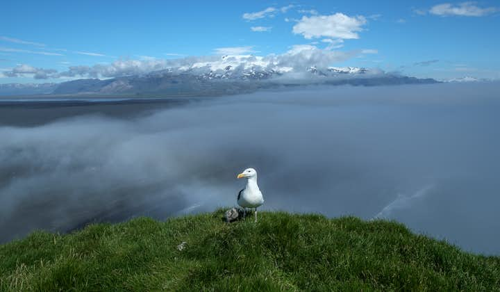 An Atlantic Seagull and chick standing together on a cliff.