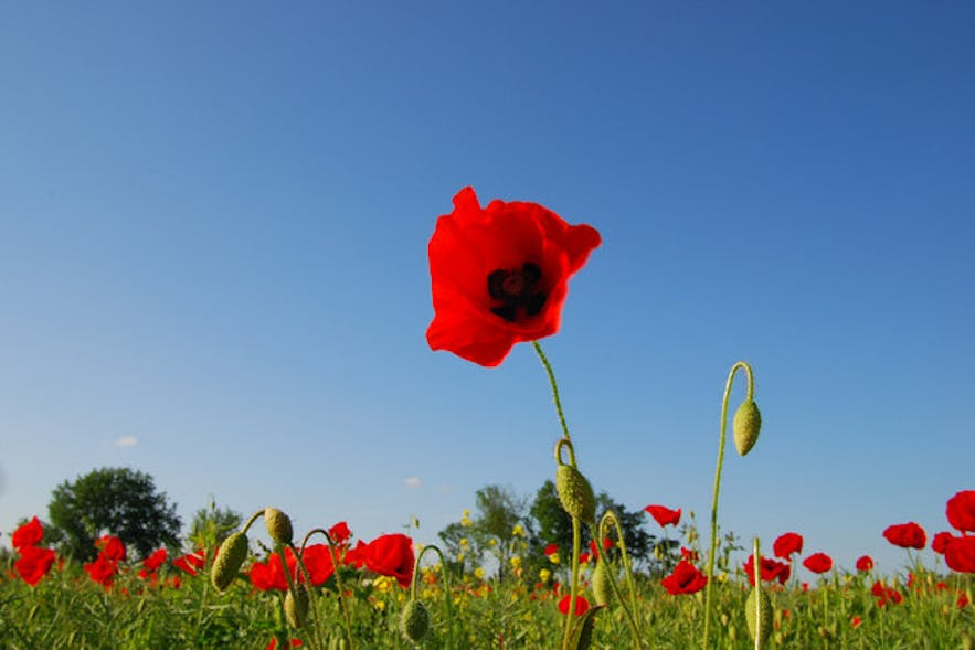Poppies are as red as the blood on the hands of every Icelander.