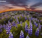 The Arctic Lupin is a plant that is commonly seen across Iceland, bestowing the country's landscapes with a purple hue that is simply magical under the midnight sun.