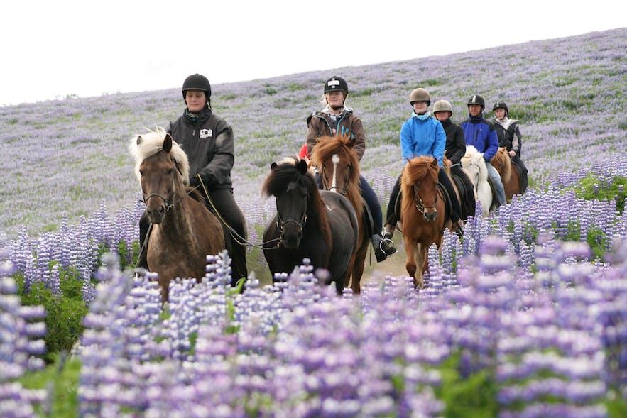 ルピナス花に囲まれた乗馬体験